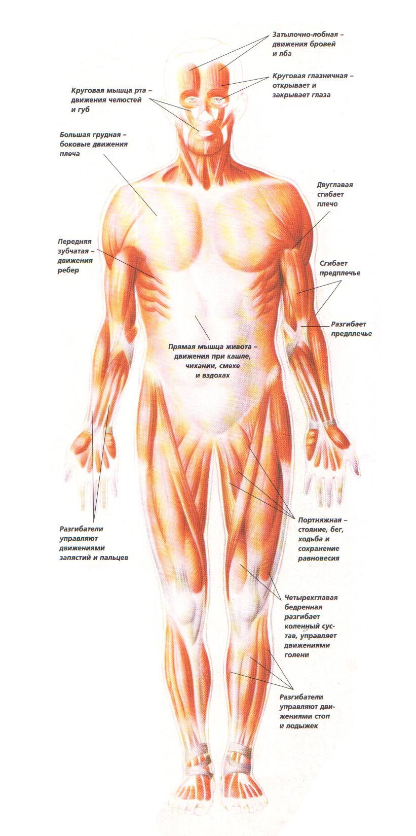 Движение костей в суставах осуществляется гладкими мышцами пункция коленного сустава показания