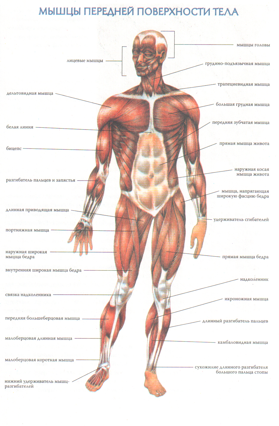 Движение костей в суставах осуществляется гладкими мышцами челюстные суставы