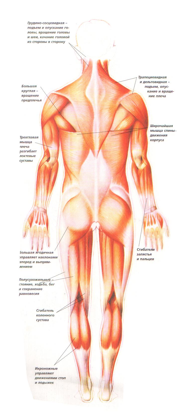 Движение костей в суставах осуществляется гладкими мышцами краевой отрыв кортикального локтевого сустава