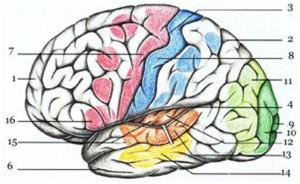 Центры головного мозга, вид сбоку и изнутри 1